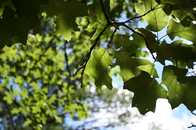 tc leaves