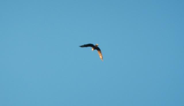 A little blurry, but that's a bald eagle.